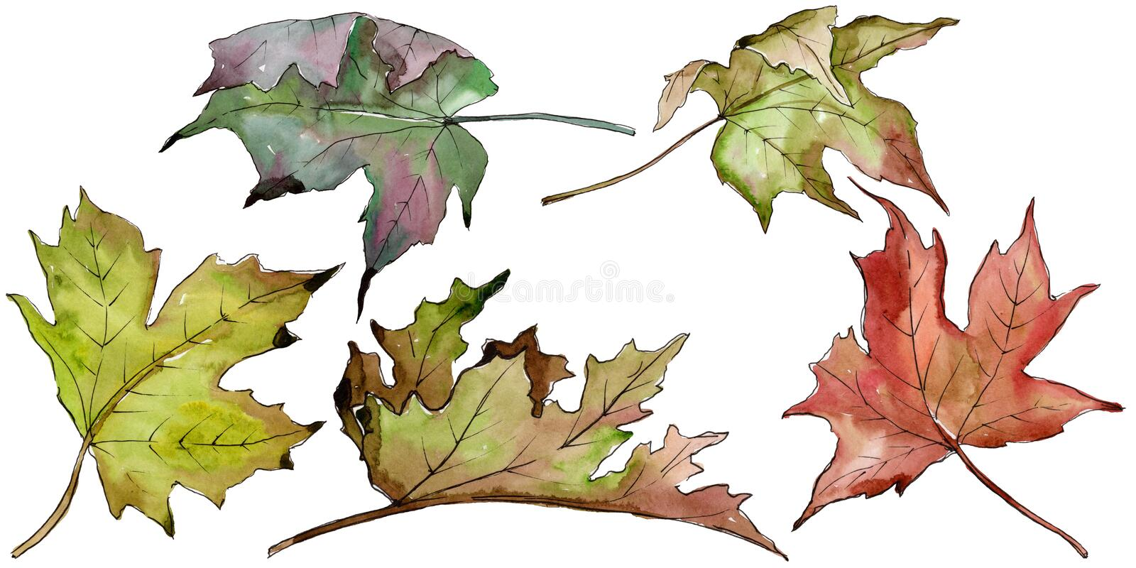 Watercolor green and red maple leaves. Leaf plant botanical garden floral foliage. Isolated illustration element. royalty free illustration