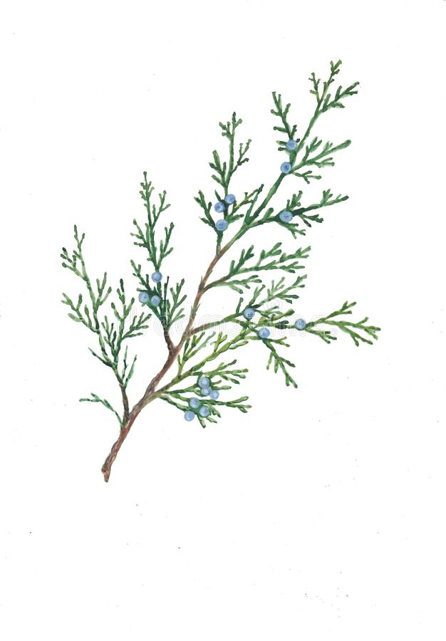 Watercolor botanical illustration of thuja branch. stock illustration