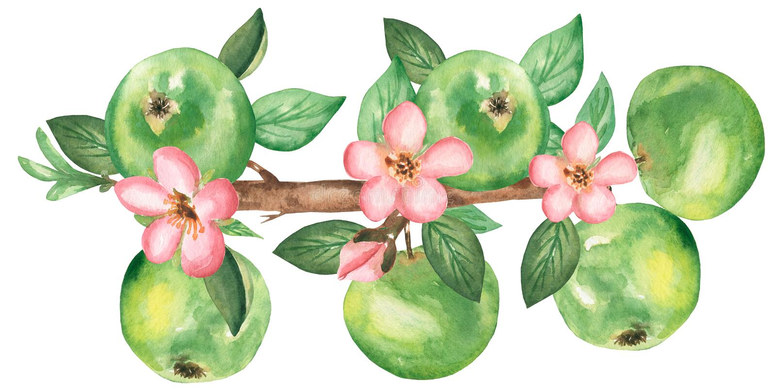 Watercolor hand drawn illustration  with  apple flowers, leaves and green apples on the branch vector illustration