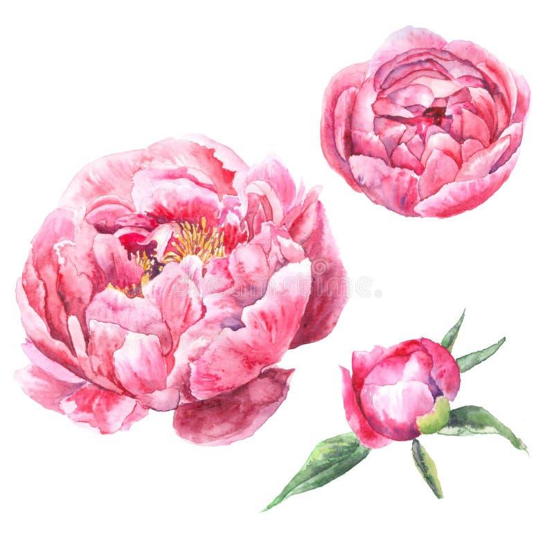 Watercolor hand drawn set illustration. Peony flower set isolated on white background stock photo