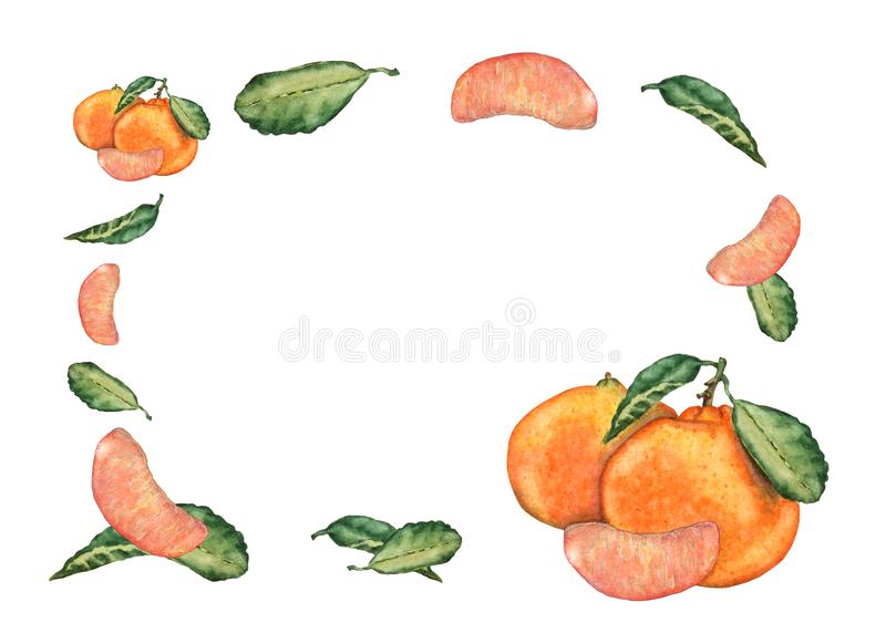 Watercolor greeting or invitation card of mandarin fruits on white background. Watercolor hand drawn mandarin fruits, slices and leaves. Colorful sweet fresh royalty free illustration