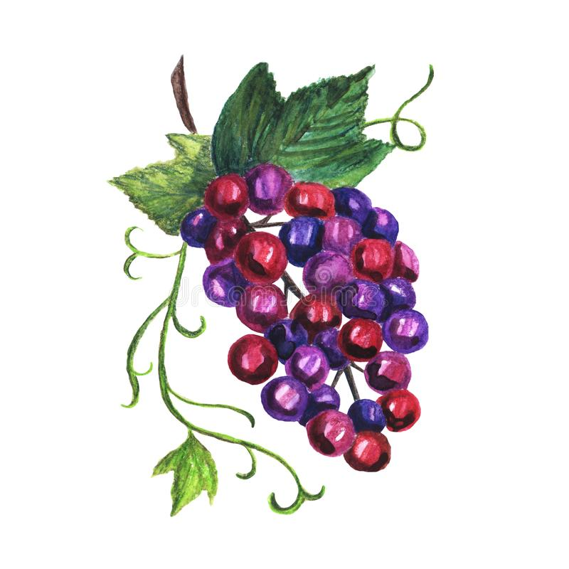Watercolor hand drawn red grapes on a white background stock illustration
