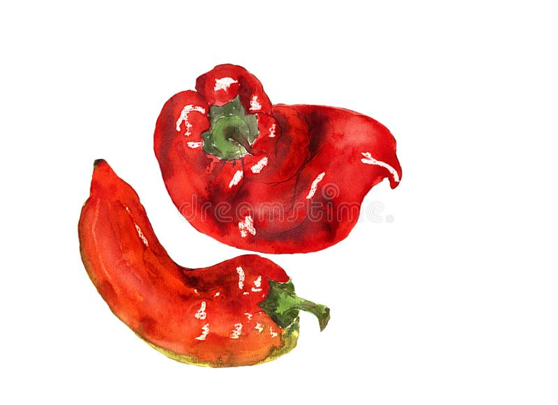 Watercolor hand drawn sketch illustration of red pepper on white background. Copy space.  stock illustration