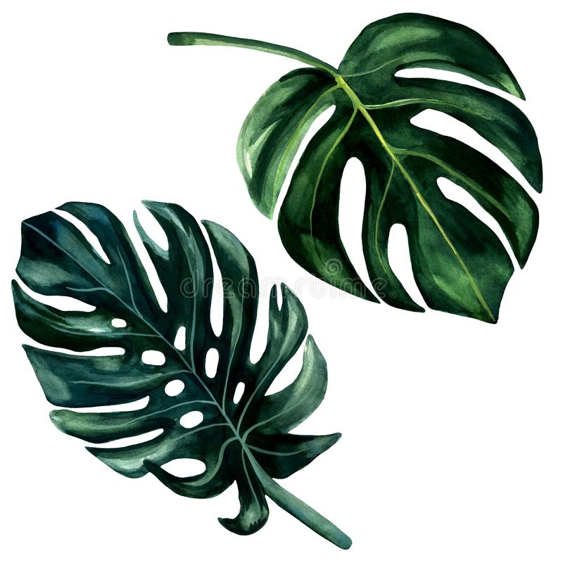 2 Watercolor hand painted green leaves of monstera. Watercolor isolated elements on white background. Tropical illustration for royalty free illustration