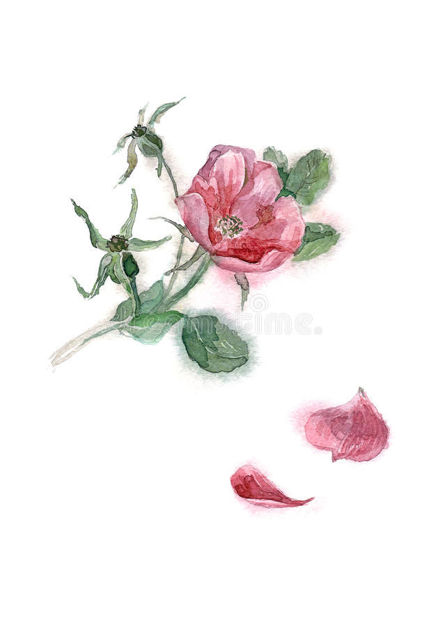 Watercolor hand painted illustration with pink dogrose isolated on white backgro royalty free illustration