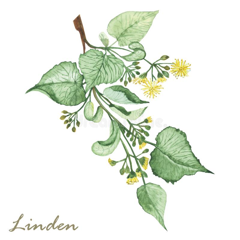Free Watercolor Hand Painted Nature Herbal Plant Illustration With Yellow Blossom Linden Flowers, Buds And Green Leaves On Branch Compo Stock Image - 207836001