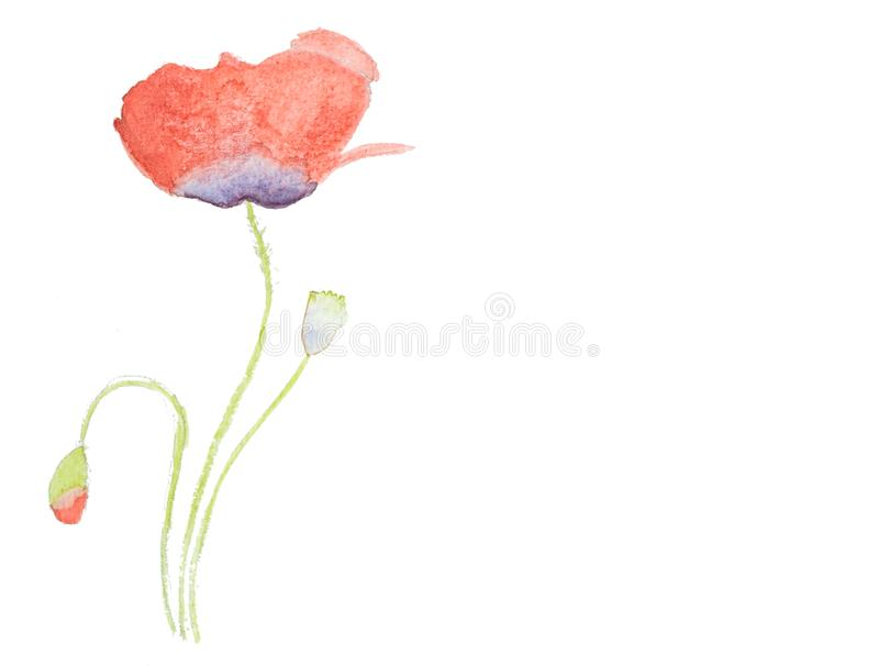 Watercolor hand painted red poppy isolated on white background royalty free stock photography