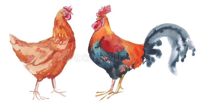 Watercolor hand painted rooster and red chicken. domestic birds with bright plumage isolated on white. Eco-friendly design for royalty free illustration