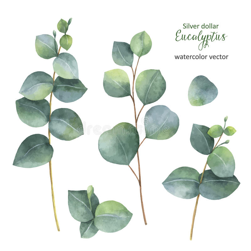 Watercolor hand painted vector set with silver dollar eucalyptus leaves and branches. royalty free illustration