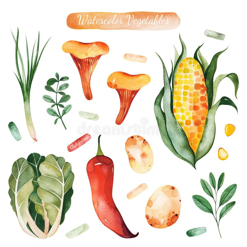 Watercolor hand painted vegetables isolated on white background. Colorful set with lettuce,red pepper,potatoes,corn,mushrooms,sage,thyme.Vegetarian collection vector illustration