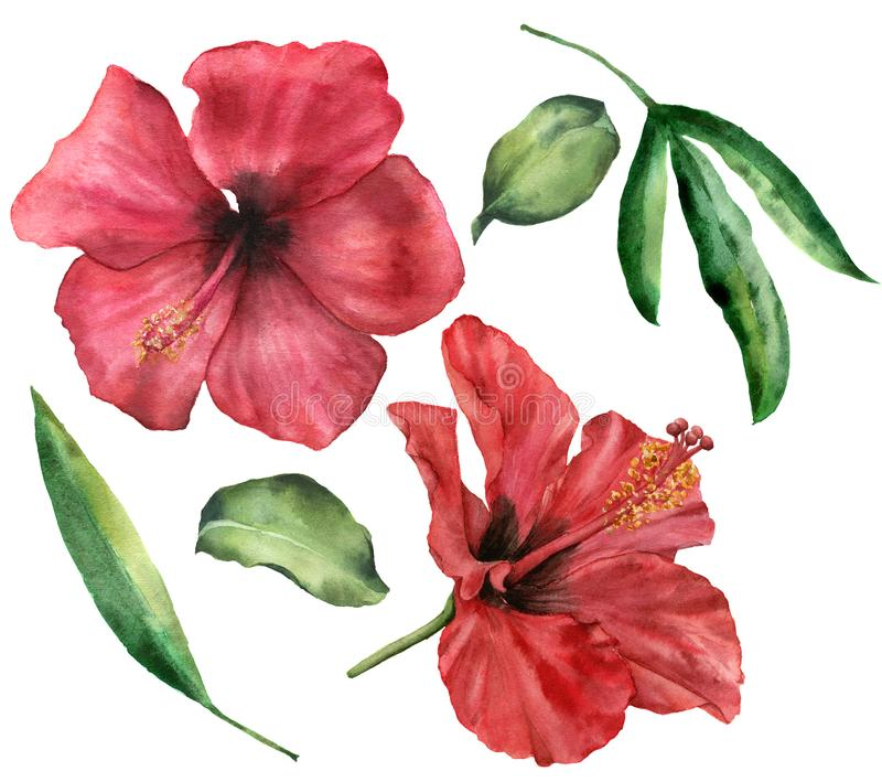 Watercolor hibiscus set. Hand painted red flowers and greenery leaves isolated on white background. Floral illustration. For design, print, fabric or background royalty free illustration