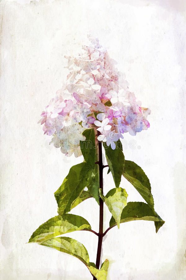 Download Watercolor hydrangea stock illustration. Illustration of drawing - 26948847