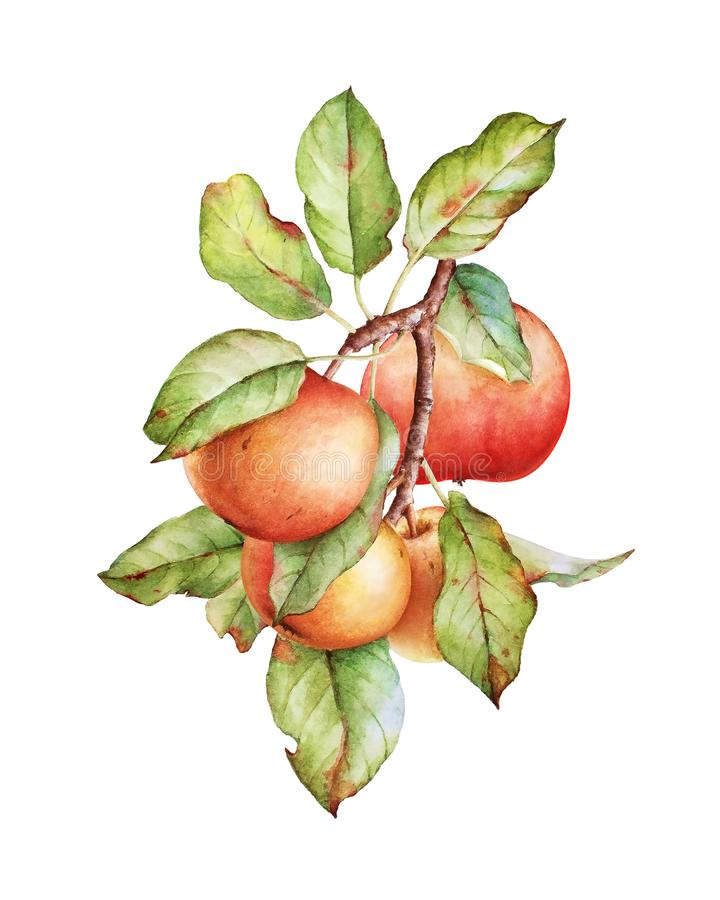 Watercolor illustration of an apple tree branch stock photo