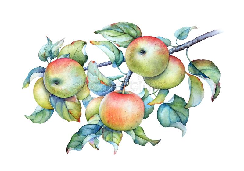 Watercolor illustration of the apple tree branch with green leaves and apples royalty free illustration