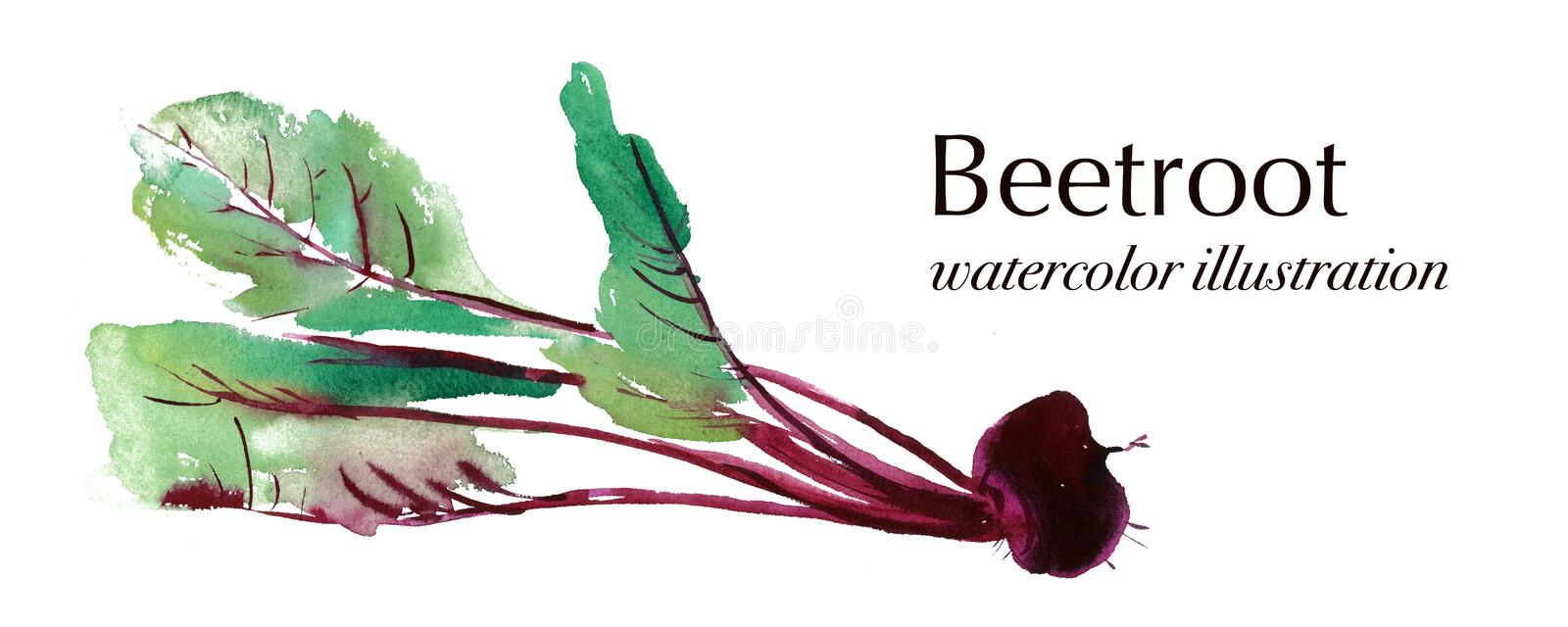 Watercolor illustration of beetroot, banner with beetroot, Beet. Beetroot with leaves, banner with beetroot, fresh beet isolated, set beets, food ingredients vector illustration