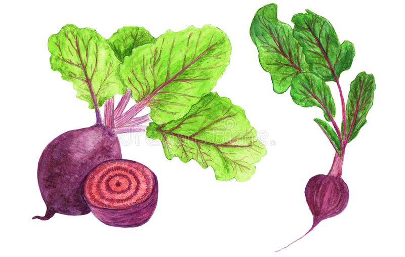 Watercolor illustration beetroot with leaves isolated on white background. Set of vegetable vector illustration
