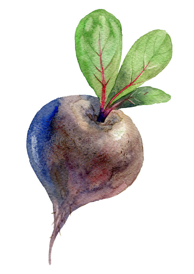 Watercolor illustration. Beets. With tops on white background stock illustration