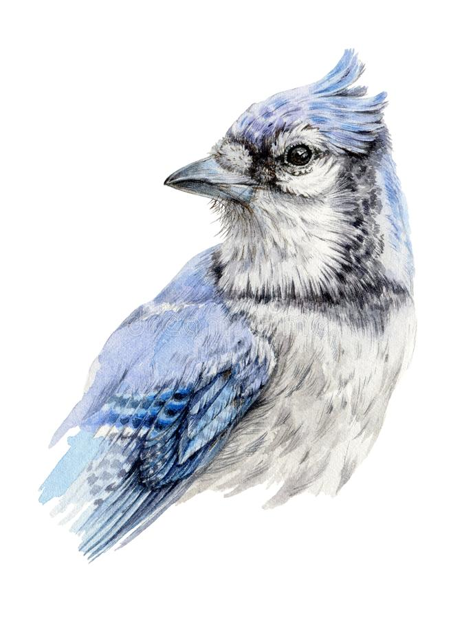 Watercolor illustration of a blue jay bird. Hand painted wild Cyanocitta cristata. Isolated on white background vector illustration