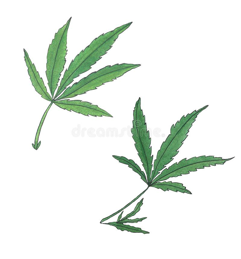 Watercolor illustration branch of Green Hemp leave royalty free illustration