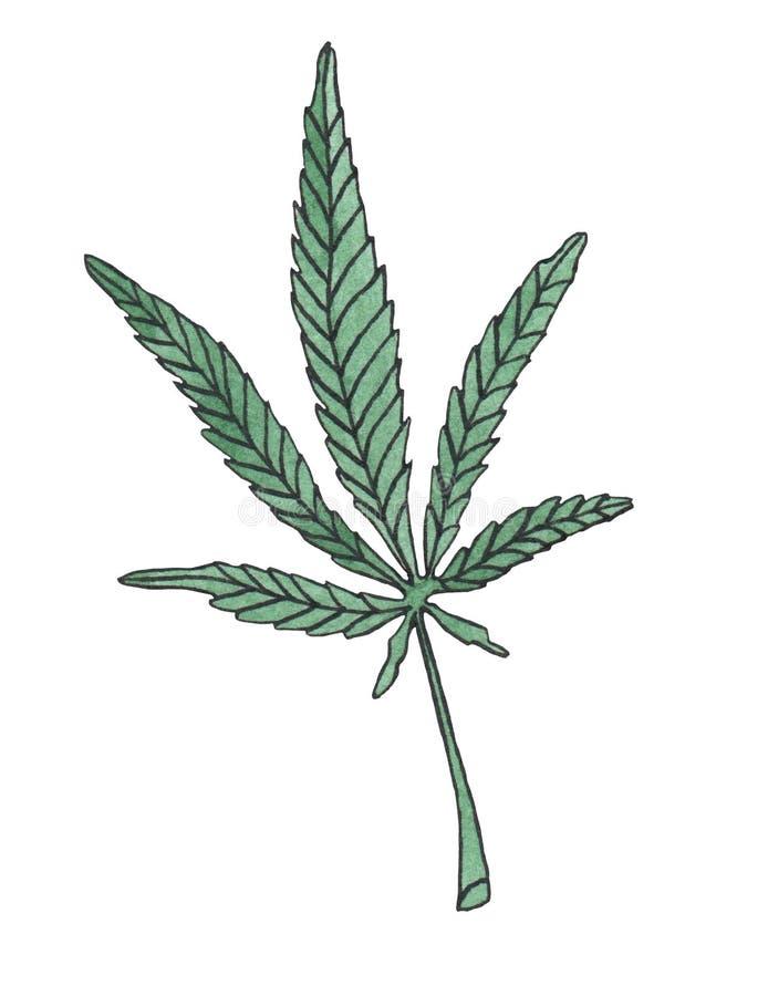 Watercolor illustration branch of Green Hemp leave. On white background stock illustration