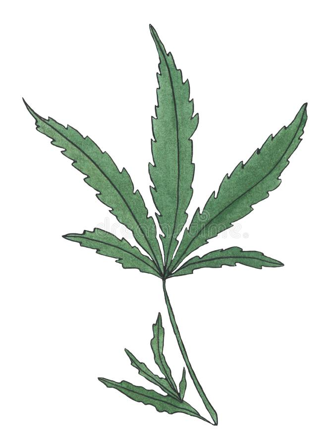 Watercolor illustration branch of Green Hemp leave. On white background royalty free illustration