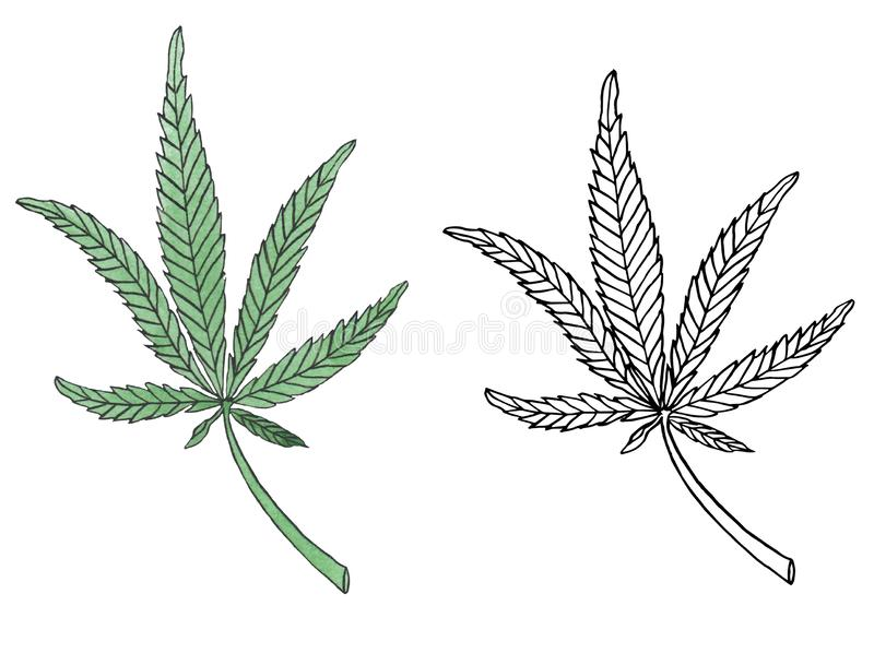Watercolor illustration branch of Green Hemp leave vector illustration
