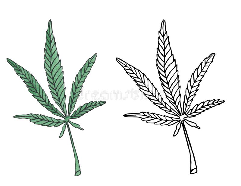 Watercolor illustration branch of Green Hemp leave vector illustration