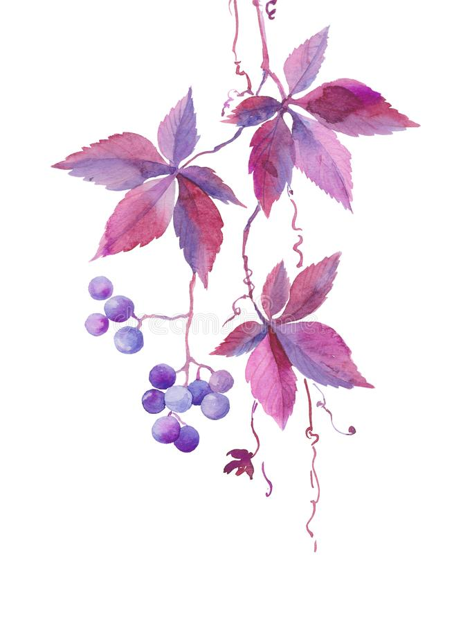 Watercolor illustration, a branch of wild girlish vine, blue violet berries, autumn plant, sketch stock illustration