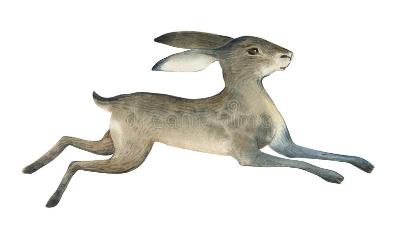 Watercolor illustration of brown hare on white background. Realistic forest animal sketch stock illustration