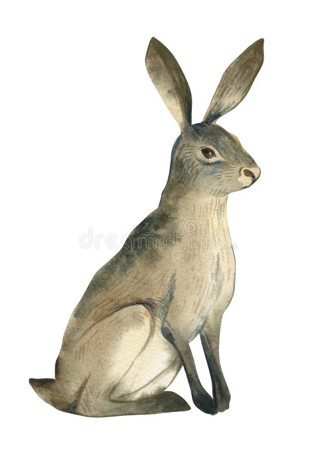 Watercolor illustration of brown hare on white background. Realistic forest animal sketch. Watercolor illustration of brown wild sitting hare isolate on white royalty free illustration