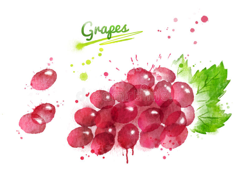 Watercolor illustration of bunch of red grape vector illustration