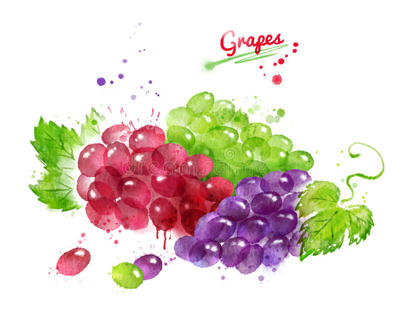 Watercolor illustration of bunches of grapes stock illustration