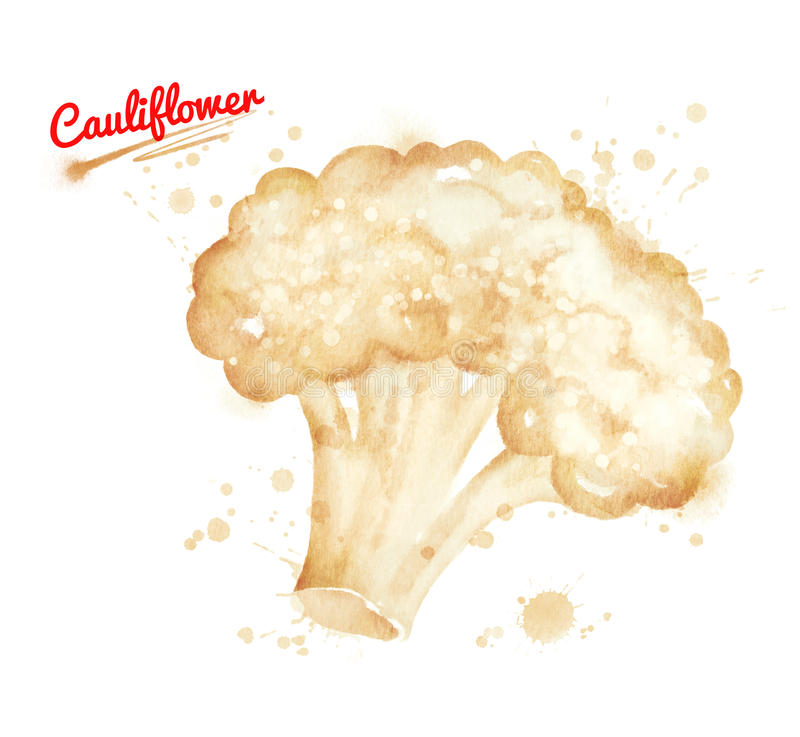 Watercolor illustration of cauliflower. Salad with paint smudges and splashes royalty free illustration