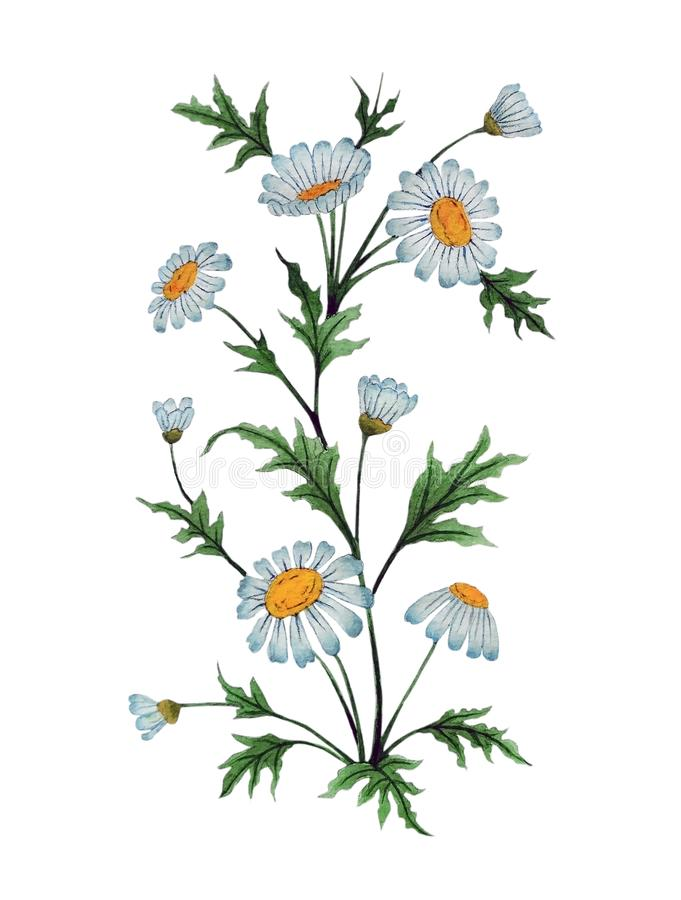 Watercolor illustration with chamomile flowers stock images