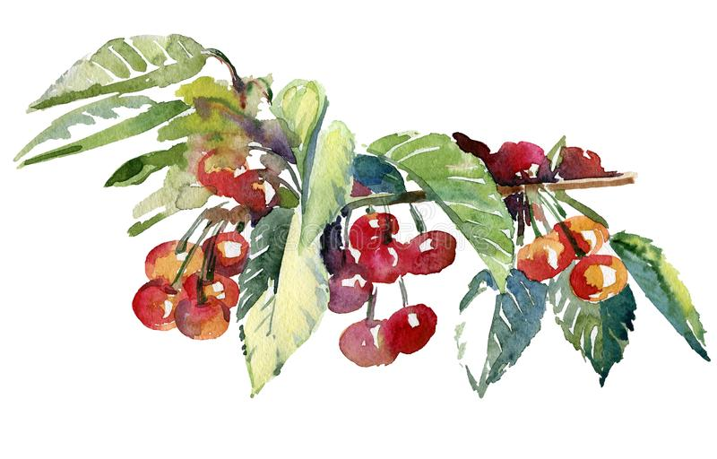 Watercolor illustration of cherries on a branch stock image