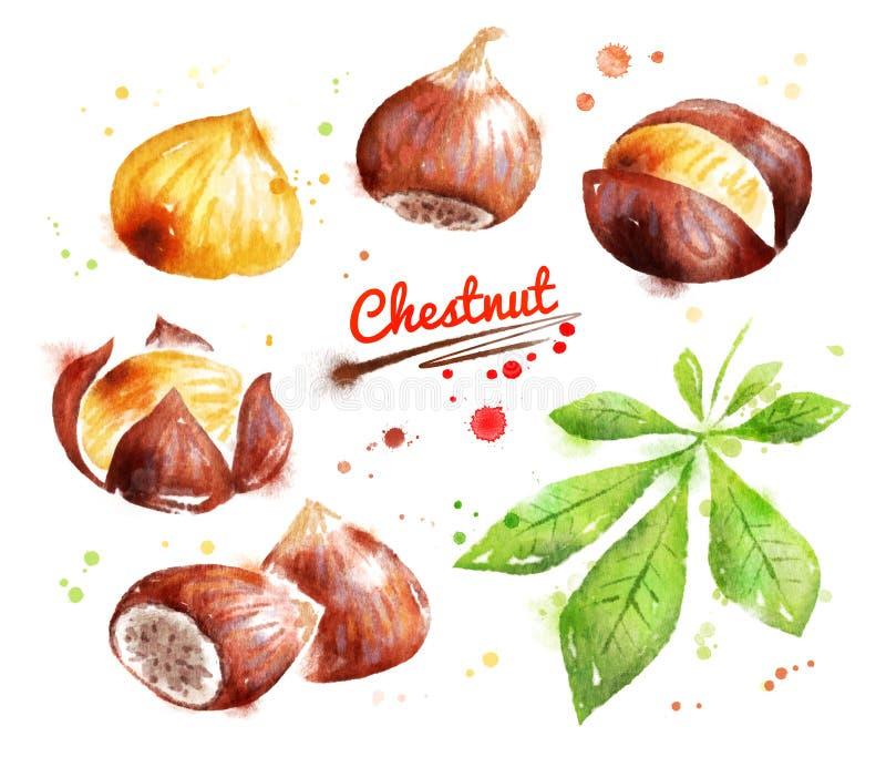 Watercolor illustration of chestnut vector illustration