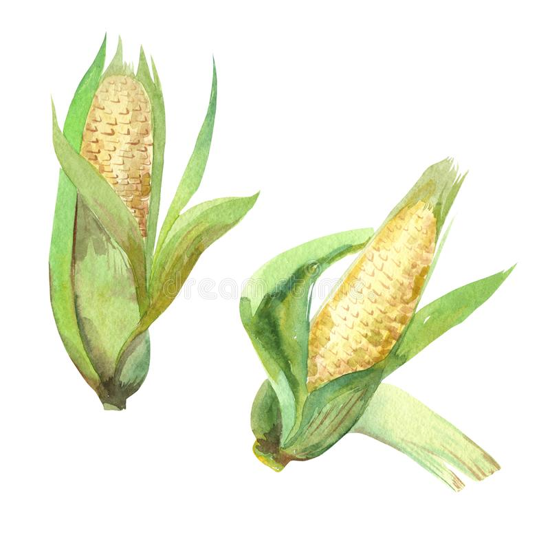 Watercolor illustration, corn vegetables, on isolated white background. vector illustration