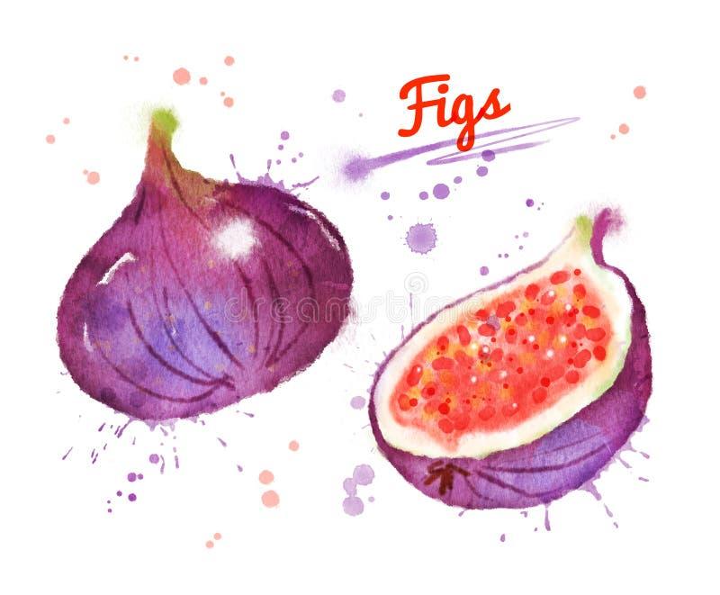 Watercolor illustration of figs vector illustration