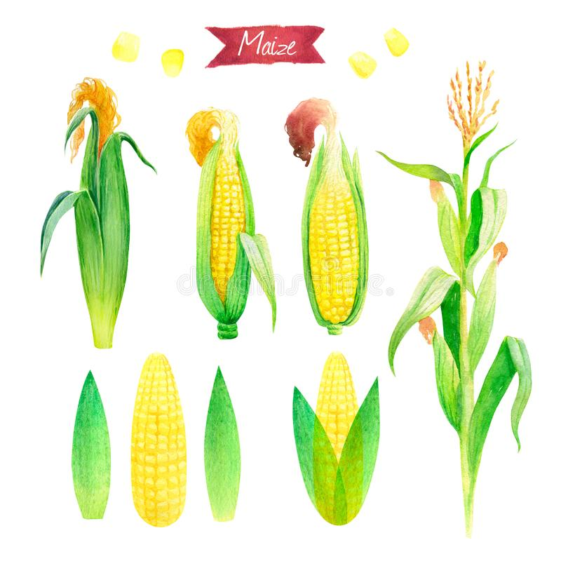 Watercolor illustration of fresh maize plant, ears, leaves and seeds isolated on white background with clipping paths stock illustration
