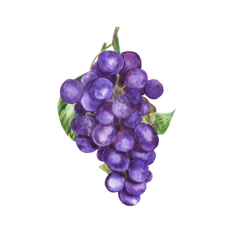 Watercolor illustration of grapes, the fruit of autumn vector illustration