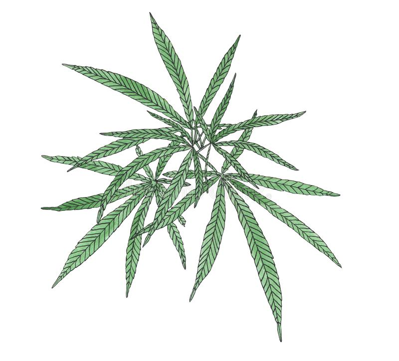 Watercolor branch of Green hemp with leaves. Watercolor illustration of green black branch hemp on white background royalty free illustration