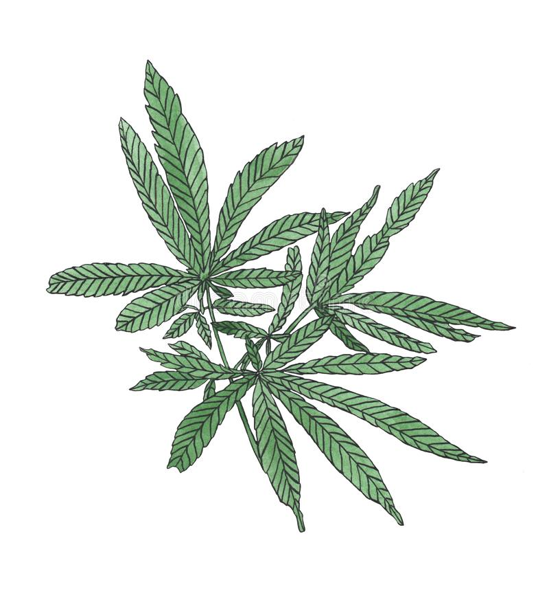 Watercolor branch of Green hemp with leaves. Watercolor illustration of green black branch hemp on white background vector illustration