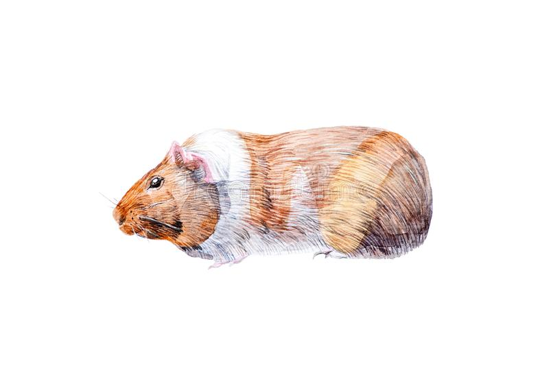 Watercolor illustration of Guinea pig family of rodent animals. Isolated on white background.  royalty free stock photos