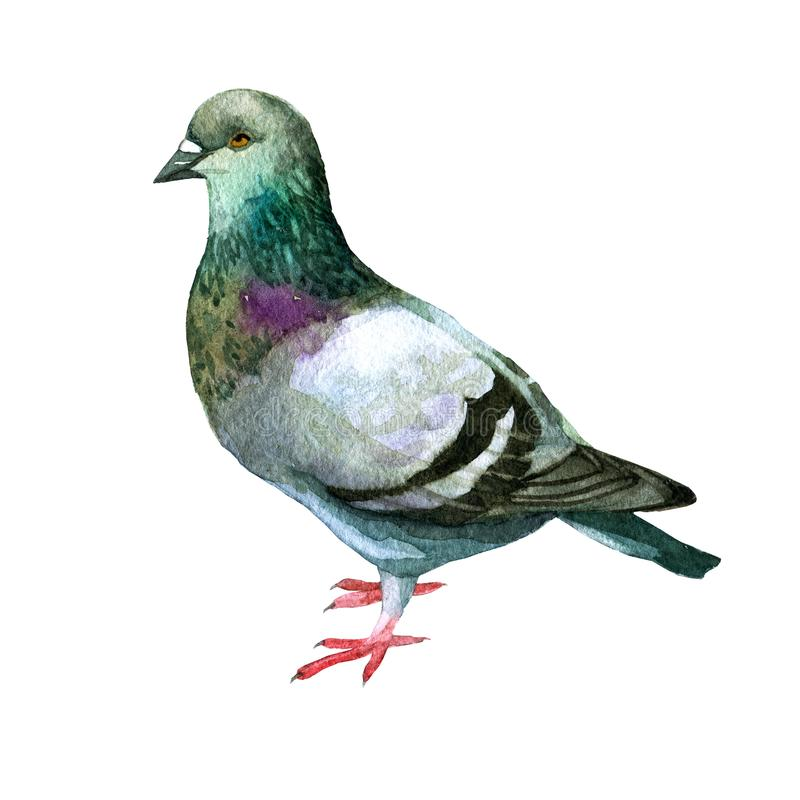 Watercolor illustration. Picture of a dove. vector illustration