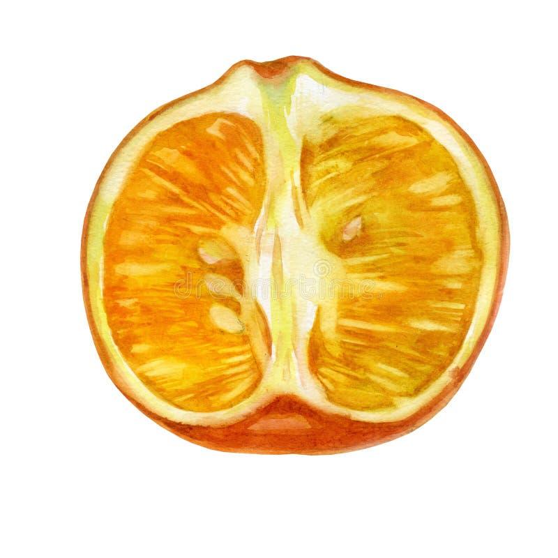 Watercolor illustration. Mandarin. Half tangerine. Unpeeled mandarin fruit royalty free illustration