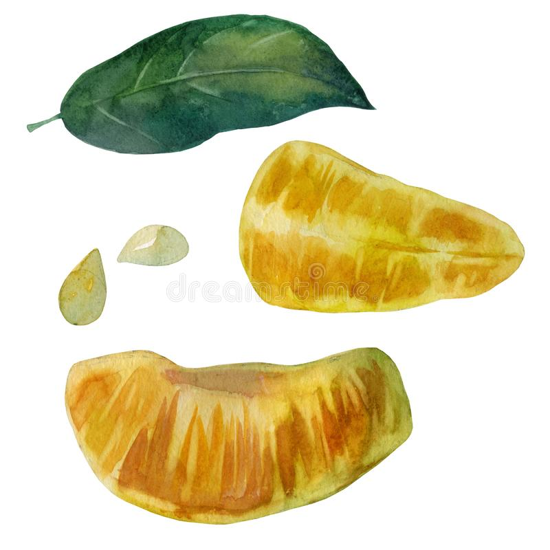 Watercolor illustration. Mandarin. Slices of mandarin. Mandarin leaf. Tangerine bones stock illustration
