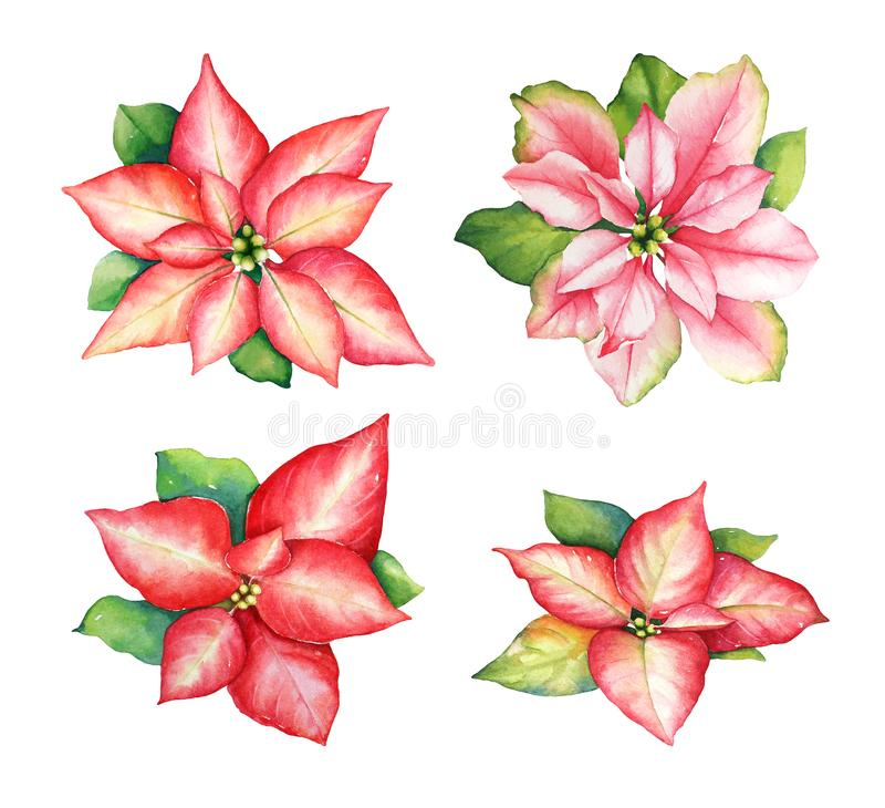 Free Watercolor Illustration Of Red And Pink Poinsettia Flowers Royalty Free Stock Image - 128930896