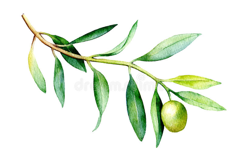 Watercolor illustration of olive branch isolated on white background. Watercolor drawing of olive branch isolated on white background. Hand drawn illustration royalty free illustration
