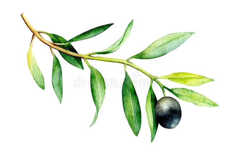 Watercolor illustration of olive branch on white background. Watercolor drawing of olive branch on white background. Hand drawn illustration with black olive vector illustration