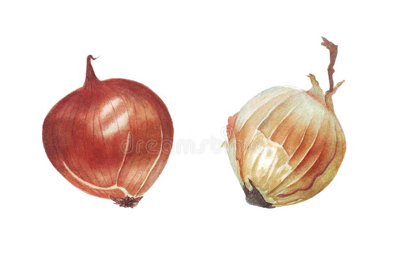 Watercolor illustration with onion stock image